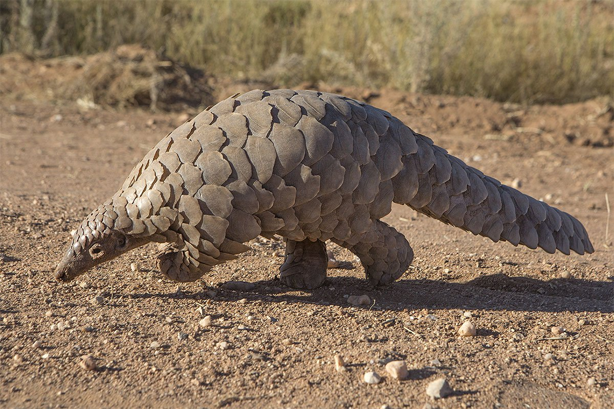 Pangolin, possible the original carrier of coronavirus covid-19